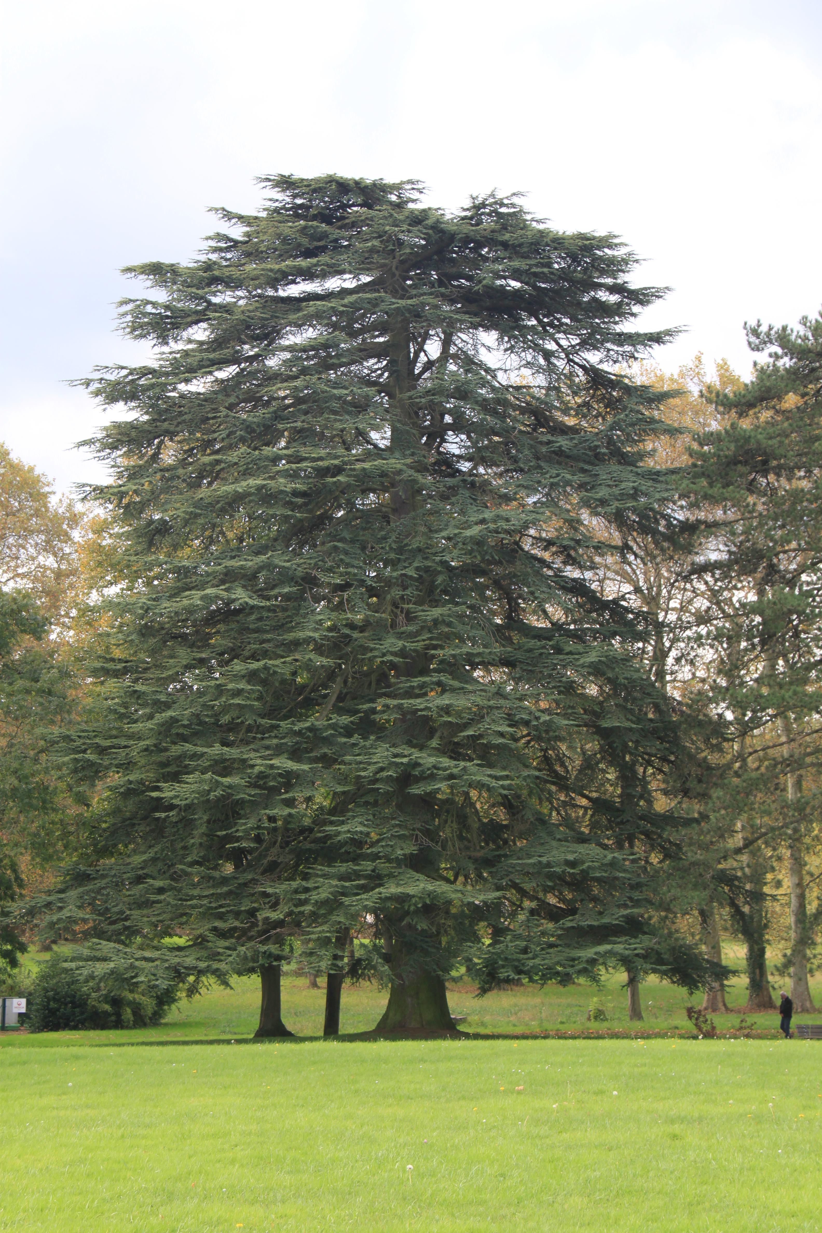 Les arbres du parc du ch teau - Cedre bleu du liban ...